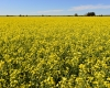 014-canola-fields