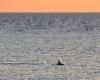 054 Adelaide Dolphin