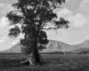 069 Cazneaux Tree