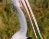 235 Adelaide Pelican