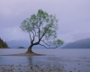 242 That Wanaka Tree