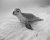 256 Jurien Bay Sea Lion