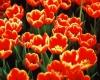 019-melbourne-tulips