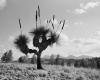 208 Bunyeroo Grass Tree