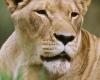 236 Lioness Amani