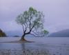242 That Wanaka Tree